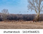 Sandhill cranes, Antigone canadensis, coming in for a landing in a farm field near other cranes. The birds gather in Indiana during their fall migration. Concepts of wildlife, nature & habitat