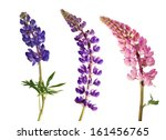 Set Of Lupine Flowers Isolated...