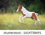 Pinto Foal Run Gallop On Meadow