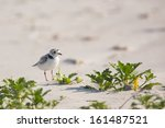 Piping Plover  Charadrius...