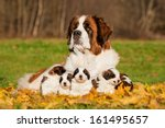 Stock photo saint bernard dog with puppies in autumn 161495657
