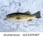 Large Mouth Bass Fish Caught...