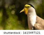 Portrait Of A Masked Lapwing...