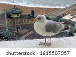 A European Herring Gull  Larus...