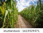 Labyrinth Made On Corn Field I...