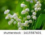 Flower Spring Sun White Green...