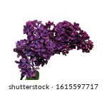 Purple Lilac Flower Isolated...