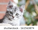 Stock photo female kitten of siberian cat three months 161563874