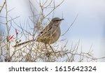 Mockingbird Perched In Tree...