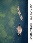 Mother Canada goose with three goslings on the water