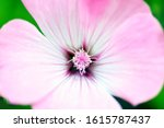 Blurred Background. Pink Flowe...