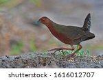beautiful bird  ruddy breasted... | Shutterstock . vector #1616012707