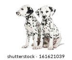 Two Dalmatian Puppies  Sitting...