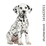 Front View Of A Dalmatian Pupp...