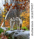 Small photo of Two Timber wolves or Grey Wolf Canis lupus standing on a rocky cliff on an autumn rainy day in Canada