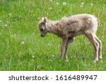 Cute Bighorn Sheep Baby In The...