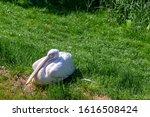 Eastern White Pelicans ...