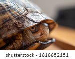 Yellow Box Turtle Playing Peek...