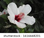A Photo Of The Flower Hibiscus.