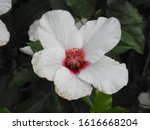 A Photo Of A White Hibiscus...