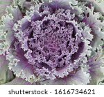 texture of ornamental cabbage ... | Shutterstock . vector #1616734621
