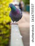 A Portrait Of A Pigeon Walking...