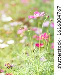 cosmos flower with bees in... | Shutterstock . vector #1616804767
