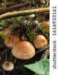 Small photo of sulphur tuft in the forest