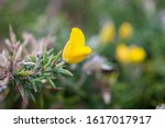 Yellow Flower Of Wild Plant