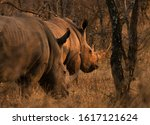 Portrait Of Two White Rhinos In ...