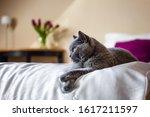 Cute Gray British Shorthair Cat ...
