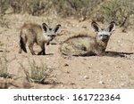 otocyon megalotis  bat eared... | Shutterstock . vector #161722364