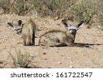 otocyon megalotis  bat eared... | Shutterstock . vector #161722547