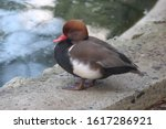 A red beak small eyed duck sits quite on the shore of a pond. Beak is bent a little and this avian has brown head