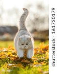 British Shorthair Cat Playing...