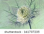 Small photo of love-in-a-mist