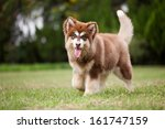 four month old red alaska sled... | Shutterstock . vector #161747159