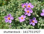 cistus incanus rock rose... | Shutterstock . vector #1617511927