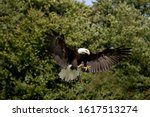 Bald Eagle Haliaeetus...
