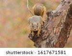 Fox Squirrel  Sciurus Niger ...