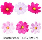 pink cosmos flower isolated on... | Shutterstock . vector #1617725071