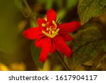 Red Passion Flower (Passiflora coccinea) also called Red Granadilla or Red Passion Vine.  Photographed at my home garden in Kankavali in sindhudurg district of Maharashtra India  - stock photo