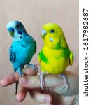 Two Budgerigars Sit On One Han...