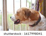 beagle dog looking out of fence | Shutterstock . vector #1617998041