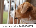 beagle dog looking outside of... | Shutterstock . vector #1618000174