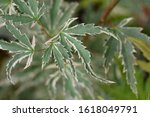 Japanese Maple Butterfly Silver ...