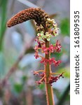 Small photo of Orchid Eria, flora of Kinabalu Sabah Borneo