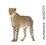 Cheetah   Acinonyx Jubatus In...