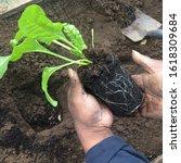 Planting Homegrown Organic...