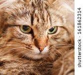 Stock photo nice cat 161862314